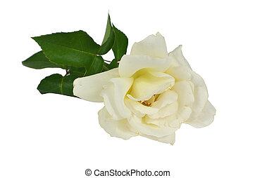 rose blanche, blanc