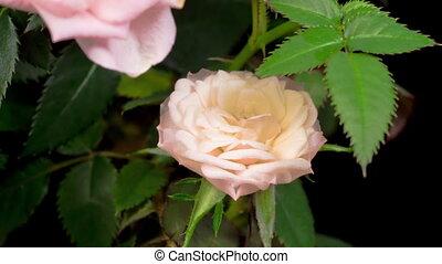 rose blanche, défaillance, ouverture, temps, fleur