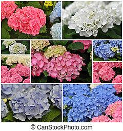 rose, bleu, hortensia, blanc, (hortensia)