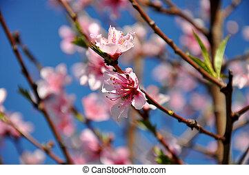 rose, bleu, pêche, fleur, printemps, arbre, haut, printemps, contre, fin, fleurs, ciel