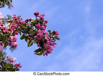 rose, bleu, pommier, ciel, contre, branche, fleurir, fleurs