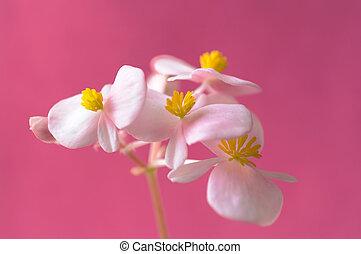 rose bloemen