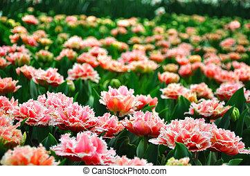 rose, blossing, tulipes, dans, keukenhof, parc, dans, hollande