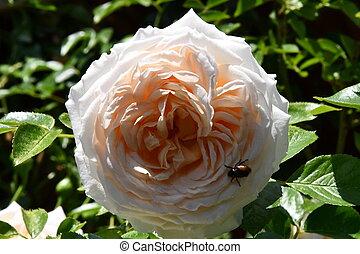 Rose, Blume - rose, blumen