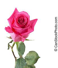 rose, blume, stiel, grün
