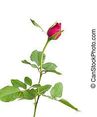 rose bud isolated on white background