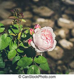 Rose bud on background of gray stones