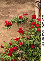 rose bush against the backdrop of ancient walls