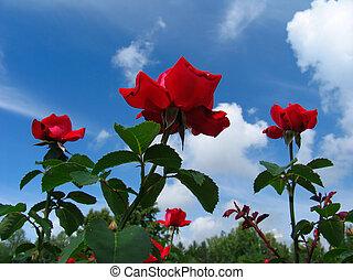 rose-bush, auf, blauer himmel, hintergrund