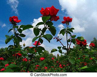 rose-bush, en, cielo azul, plano de fondo