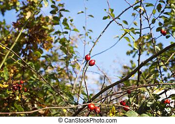 rose bush in autumn