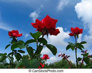 Rose-bush on blue sky background