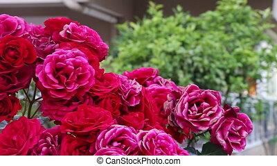 Rose bush - Pink rose bush on Turkey