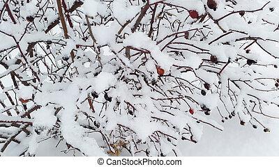 rose bush under snow - winter in Ukraine