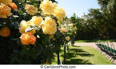 Spring day at Rosengarten, an amazing rose gallery in center of Vienna, Austria