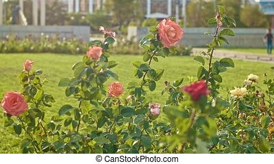 Rose bushes moving on wind in slow motion.