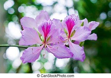Rose camellia flowers