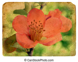 rose, carte postale, vieux, flower.