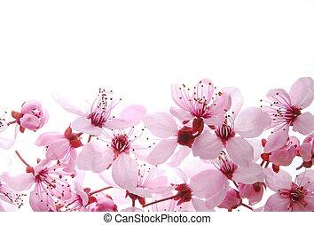 rose, cerise, fleurs