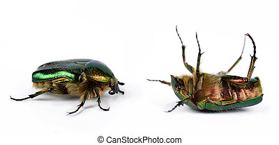 Rose chafer (Cetonia Aurata) isolated on white background.