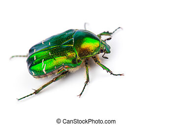 Rose chafer (Cetonia aurata) isolated on white