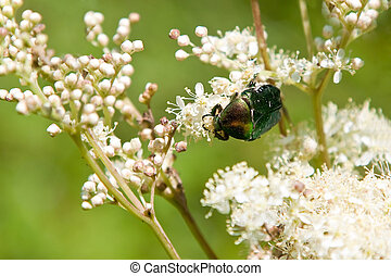 Rose chafer exploring flowers.