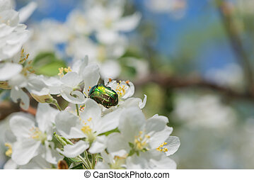 Rose chafer on an apple flower - Green Rose chafer on a...