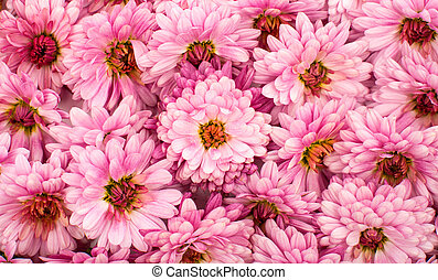rose, chrysanthème