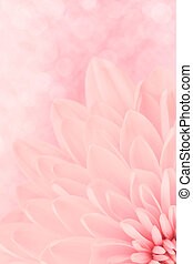 rose, chrysanthème, pétales, coup, macro