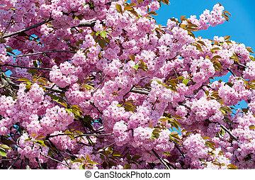 rose, ciel bleu, cerisier, fleurs, fleur