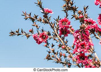 rose, ciel bleu, contre, fleurs, fleur, manuka