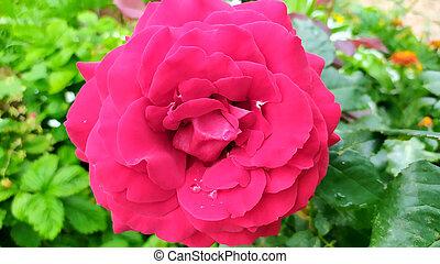 Rose close-up. Flowering shrubs in the garden.