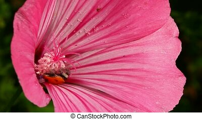 rose, coccinelle, fleur, macro