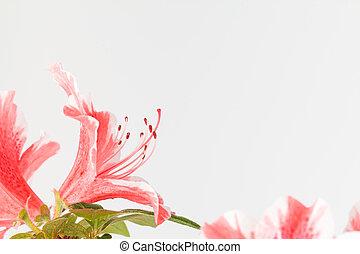 rose, corail, fleur, blanc, azalée
