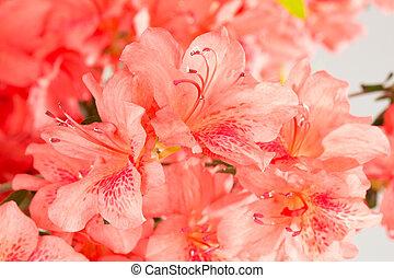 rose, corail, fleurs, azalée