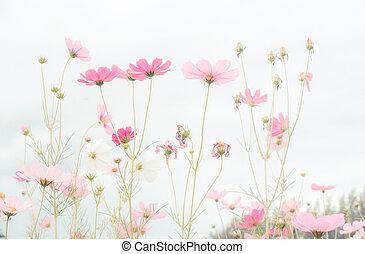 rose, cosmos, champ, fleurs, beau, fleur