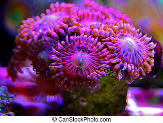rose, coup, zoanthus, macro, colonie, stardust, rose, polypes