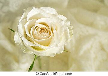 Rose cream colored - Close-up of a cream colored rose and a...