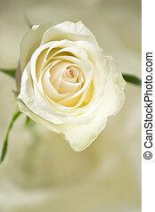 Rose cream colored  - Close-up of a cream colored rose