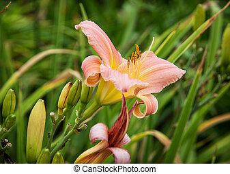 rose, daylily, fleurs