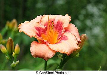 rose, daylily, jardin fleur
