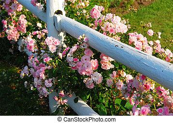 rose dentellare, recinto