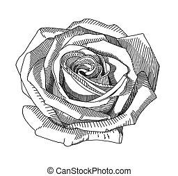 rose, dessiner, croquis, main