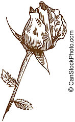 Rose Drawing Two - Beautiful hand drawn rose bloom stem with...