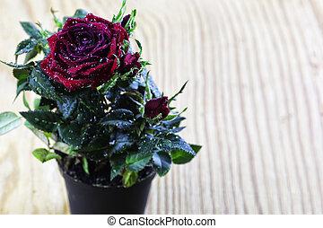 rose drop pot macro
