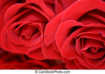 Rose Duo - macro of two deep red roses