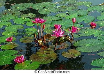 rose, eau, fleur, lis, étang