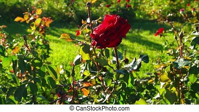 rose, en mouvement, rosegarden, vent