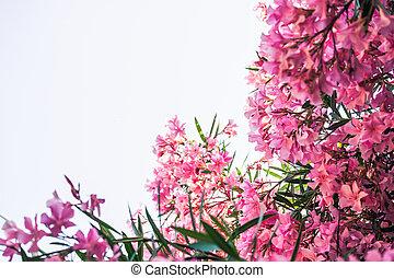 rose, espace, ciel, contre, oleander, clair, copie