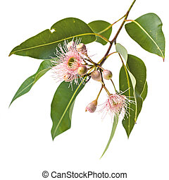 rose, eucalyptus, feuilles, isolé, fleurs blanches, bourgeons